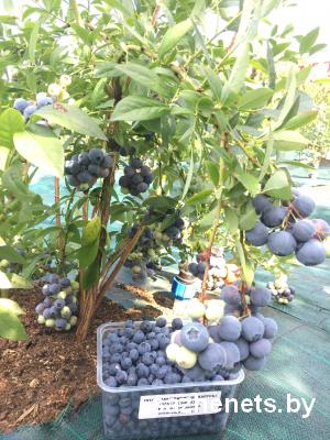 ягоды голубики Минск