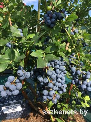ягоды голубики купить в Беларуси