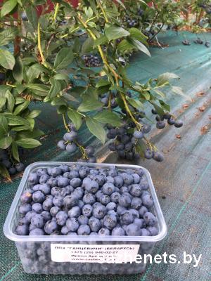 вкусные ягоды голубики
