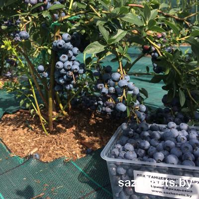 ягоды голубики Ганцевичи